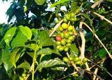 Coffee has been grown on the Ijen Plateau since the 19th century