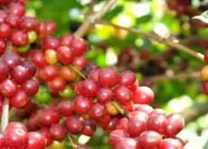 Coffee beans - one can find many coffee plantations in Kalibaru