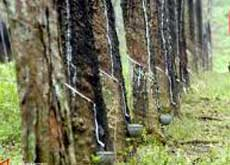 Rubber trees - East Java