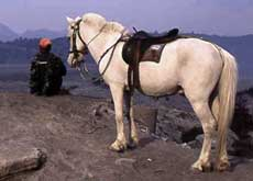 Local transport at mount Bromo: horse power - East Java, Indonesia