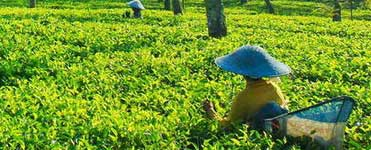 Wonosari Tea Plantation in Lawang, north of Malang city
